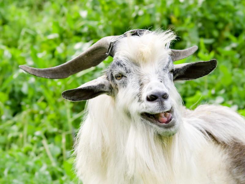 Жительница Флориды подала иск о тесте на отцовство на козах - без шуток