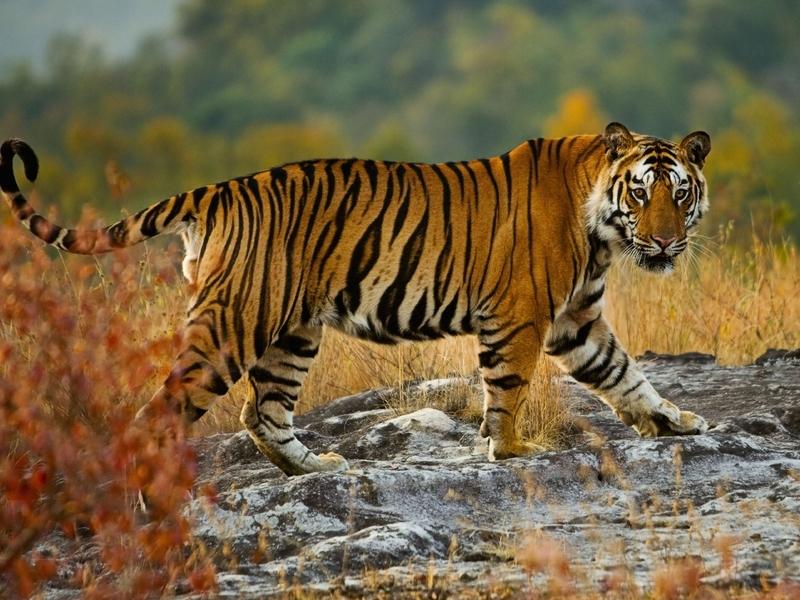 ТИгр прошел всю индию