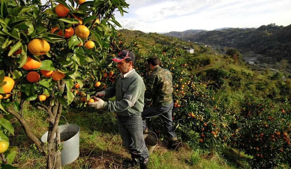 Как появились мандарины в Абхазии?