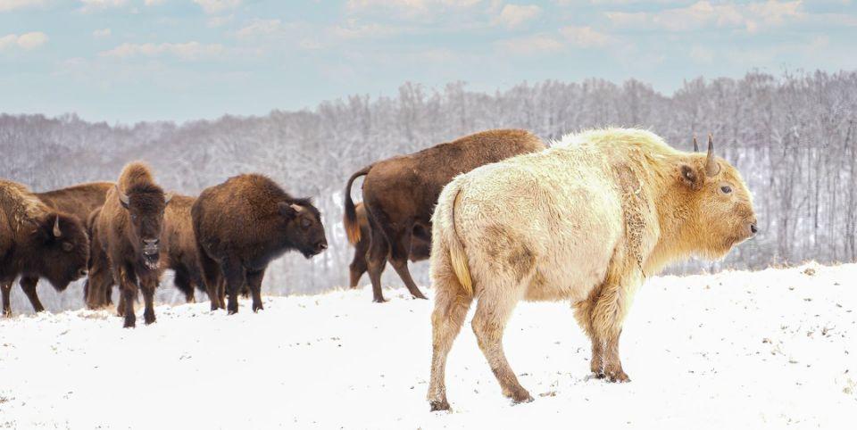 Белый бизон был замечен в горах Озарк в штате Миссури