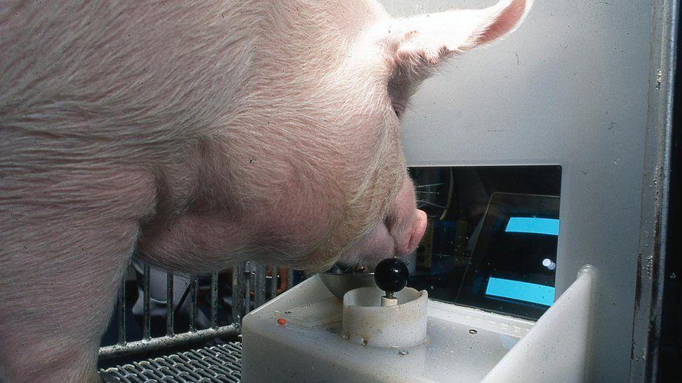 Ученые выяснили, что свиньи могут играть мордой в видеоигры
