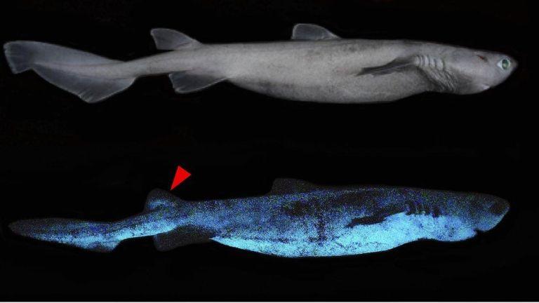Ученые обнаружили гигантскую светящуюся в темноте акулу