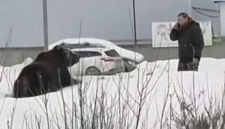 В Нижневартовске поймали гулявшего по улицам медведя