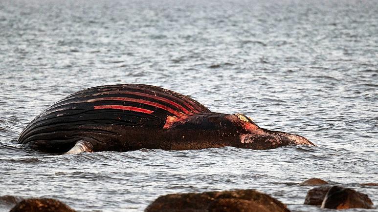 Не приближайтесь к туше кита, он может взорваться, предупреждают шведов