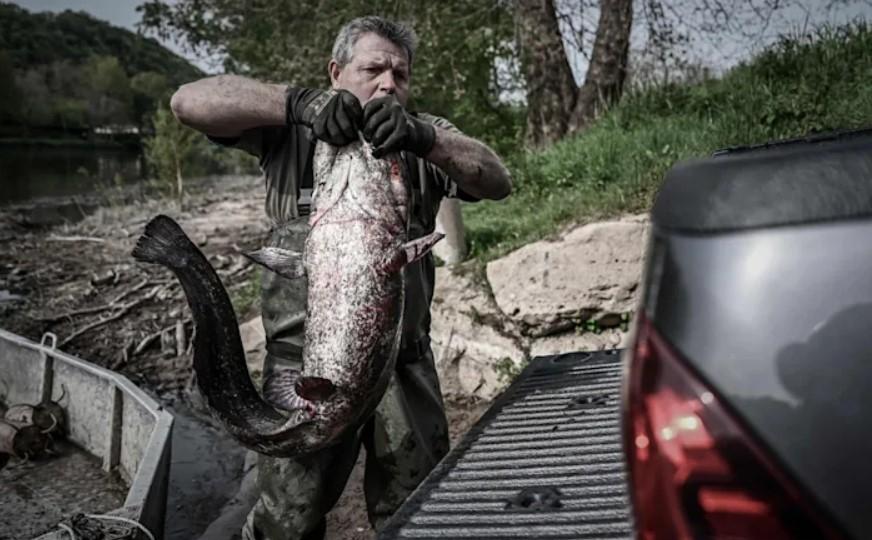 Рыбаки умоляют отразить нашествие чудовищных сомов