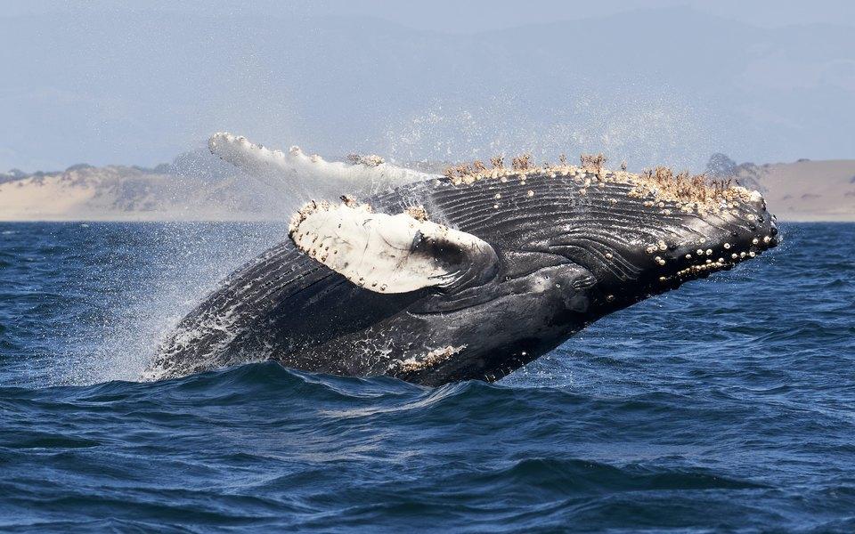 В США кит целиком проглотил аквалангиста