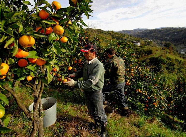 Какие фрукты растут в Абхазии и когда их можно есть?