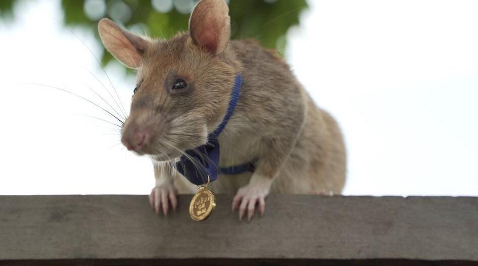 Крыса-сапёр уходит на пенсию после 5 лет работы