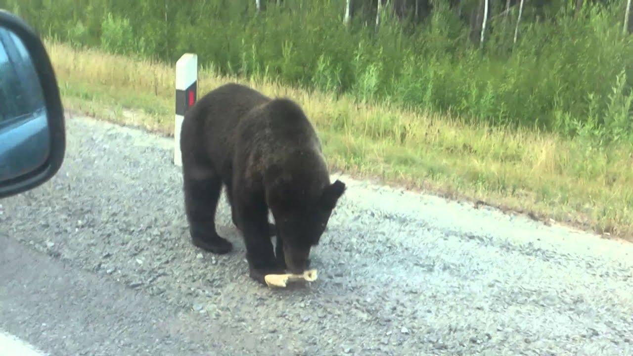 В Иркутской области на трассе живет медведь-попрошайка