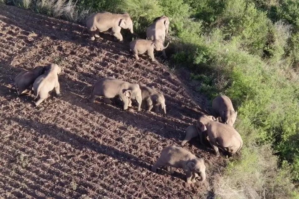 В Китае из-за диких слонов эвакуировали более 150 тысяч человек